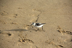 The Long-toed Stint stock image