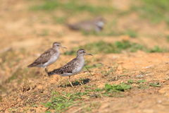 Long-toed Stint Royalty Free Stock Photos