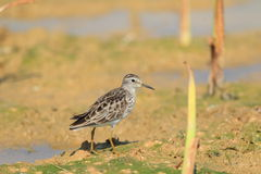 Long-toed Stint Stock Photography