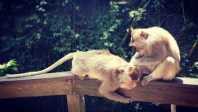 Long toilettage coupé la queue de singes de macqaque photo stock