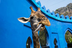 Long Tongue Giraffe in beside view Stock Image