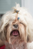Long tongue shi tzu dog Stock Photography