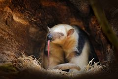 Long tongue. Southern Tamandua, Tamandua tetradactyla, wild anteater in the nature forest habitat, Brazil. Wildlife scene from. Tropic jungle forest. Anteater stock photos