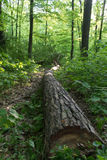 Long tree log on the pathway. A long cut tree lying along a pathway through the forest stock photo