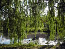 Long tree willow branches hang above the pond in the park. Long tree willow branches hang above the pond in the park stock photo