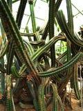 Long tubular cacti Royalty Free Stock Image