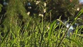 Long uncut green grass blowing in the strong wind. Long uncut green grass plant blowing in a strong wind, tree branches in the background stock footage