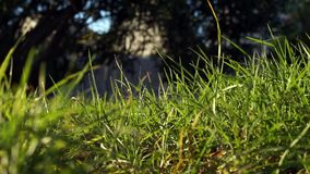 Long uncut green grass blowing in the strong wind. Long uncut green grass plant blowing in a strong wind, tree branches in a dark background sunshine stock video footage
