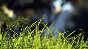 Long uncut green grass blowing in the wind dark background. Long uncut green grass plant blowing in a strong wind, tree branches on the left in a dark background stock video footage