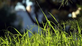 Long uncut green grass blowing in the wind dark background. Long uncut green grass plant blowing in a strong wind, tree branches on the right in a dark stock video