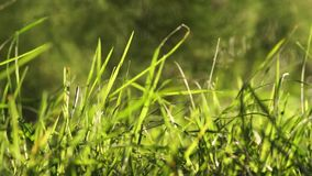 Long uncut green grass blowing in the wind light background. Long uncut green grass plant blowing in a strong wind, tree branches on the right in a light stock footage