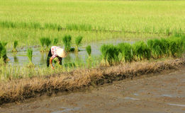 Farmer pull up young plants of rice at field .LONG Royalty Free Stock Photos