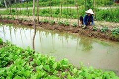 Farmer pull grass  at vegetable garden. LONG AN, V Royalty Free Stock Photography