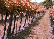 Long vineyards in the Italian hills Stock Photo