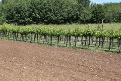 Long vineyards in the Italian hills Royalty Free Stock Photography