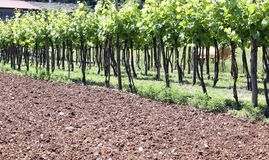 Long vineyards in the Italian hills at summer Royalty Free Stock Photo
