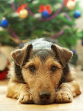 Long wait for the Christmas. Sad lying dog on the background of Christmas tree Royalty Free Stock Image