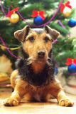 Long wait for the Christmas. Lying dog on the background of Christmas tree royalty free stock photos