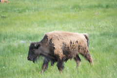 A Long Walk. An adult bison walking through a field at Yellowstone National Park. I was able to get many pictures of bison while I was there Royalty Free Stock Image