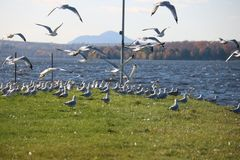 Beautiful Fly Seagull , Quebec Royalty Free Stock Photo