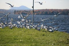 Beautiful Fly Seagull , Quebec Stock Photos