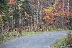 Beautiful meeting with fawn , Quebec Stock Photo