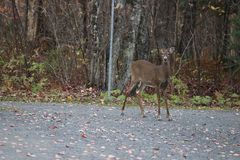 Beautiful meeting with fawn , Quebec Royalty Free Stock Photos
