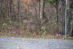 Beautiful meeting with fawn , Quebec Royalty Free Stock Image