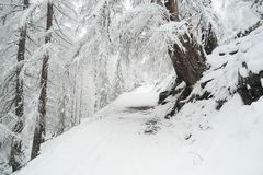 Long walk through the winter coniferous forest stock photos
