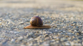 Long way home snail Royalty Free Stock Photography