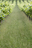 Long way in the vineyard Stock Images