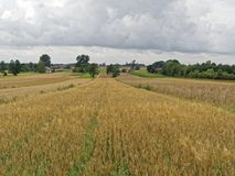 Long wheat field in village Royalty Free Stock Photo