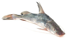 Long-whiskered catfish. Of Southeast Asia Stock Image