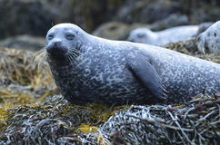 Long Whiskers on a Harbor Seal Royalty Free Stock Images