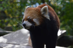Long Whiskers on a Lesser Panda. Really long wihiskers on a cute red panda bear Stock Image