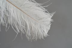 Long white fluffy feather on a white background.A symbol of lightness and elegance. Long white fluffy feather on a white background. A symbol of lightness and Stock Image