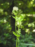 Long white thistle Stock Photography