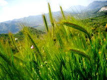 Long Wild Grass Stock Photo