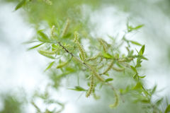 Weeping willow branch in blooming Royalty Free Stock Image