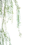 Long willow branch. In spring season Royalty Free Stock Photography