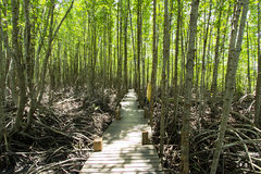 Long wood bridge in golden mangrove forest, Chanthaburi Thailand Stock Image