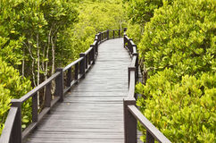 Long wood bridge. Into green mangrove forest Stock Image