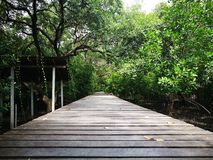 Long wood bridge in Mangrove forest in Thailand Stock Images