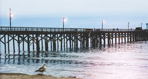 Brown seagull in front of pier in Southern California royalty free stock images