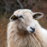 Long wool hair sheep waiting for agriculture, countryside and ecology Stock Photos
