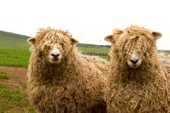 Long wool sheep Royalty Free Stock Photography