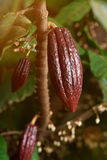 Long young red cocoa pods. Cacao farm tree close up. Ready for harvest cocoa pod royalty free stock image