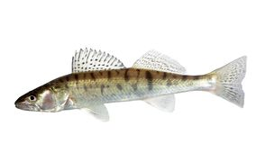 Long zander Royalty Free Stock Image