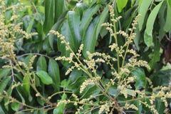 Longan цветет предпосылка на дереве longan Стоковые Изображения RF