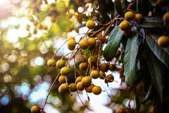 Longan Foto de Stock Royalty Free
